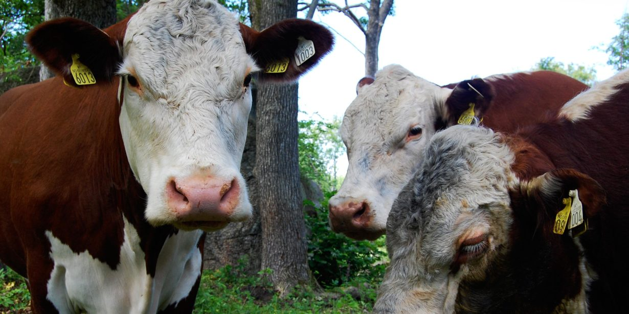 Environmental Impact of Livestock Production - beef cows