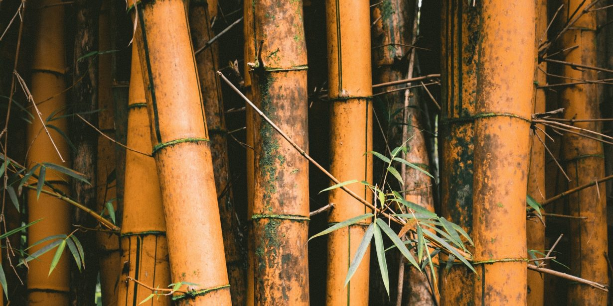 is bamboo sustainable - tall bamboo plant