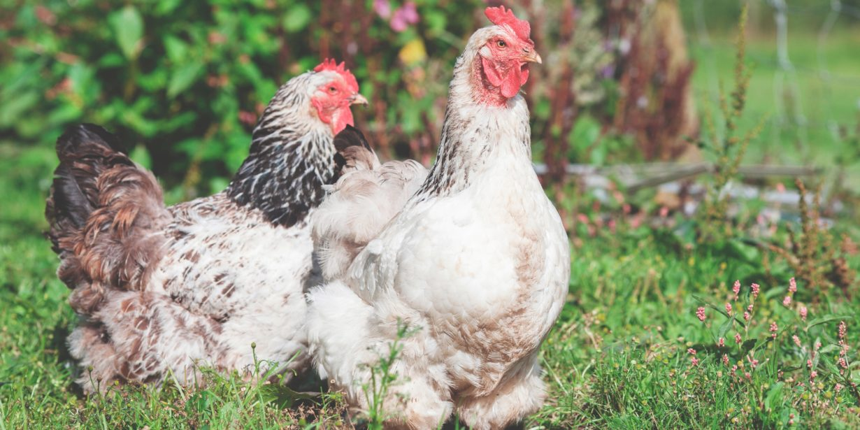 adopt a chicken or ex battery hens