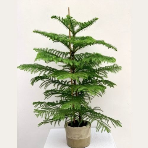 Norfolk Pine Christmas Tree